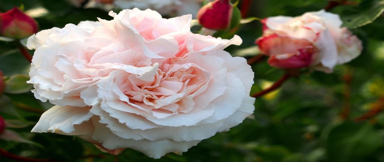 Róża Constanze Mozart, pełna czaru i uroku